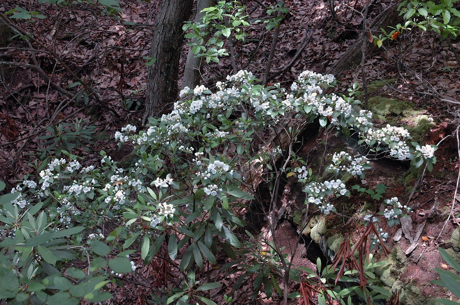 Top 28 Pictures Of Mountain Laurel Shrubs Mountain