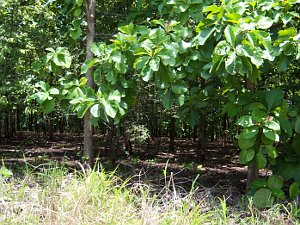 Teak is not a fast growing tree