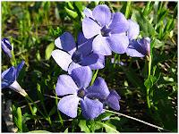 Лекарственное растение барвинок малый