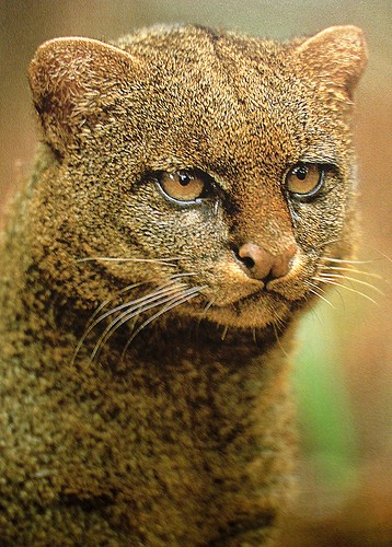 "The jaguarundi (Puma yagouaroundi syn. Herpailurus yagouaroundi), also called eyra cat, is a small-sized wild cat native to Central and South America. In 2002, the IUCN classified the jaguarundi as Least Concern, although they considered it likely that no conservation units beyond the mega-reserves of the Amazon basin could sustain long-term viable populations. It is probably extinct in Texas. Its presence in Uruguay is uncertain.  In some Spanish speaking countries, the jaguarundi is also called ""gato colorado"", ""gato moro"", ""león brenero"", ""onza"", and ""tigrillo"", leoncillo. Leoncillo means little lion. The Brazilian Portuguese pronunciation of its common English and Portuguese name is IPA: [ʒɐgwaɾũˈdʒi]. It is also called gato-mourisco, eirá, gato-preto and maracajá-preto in Portuguese. ""Jaguarundi"" comes from Old Tupi yawaum'di."
