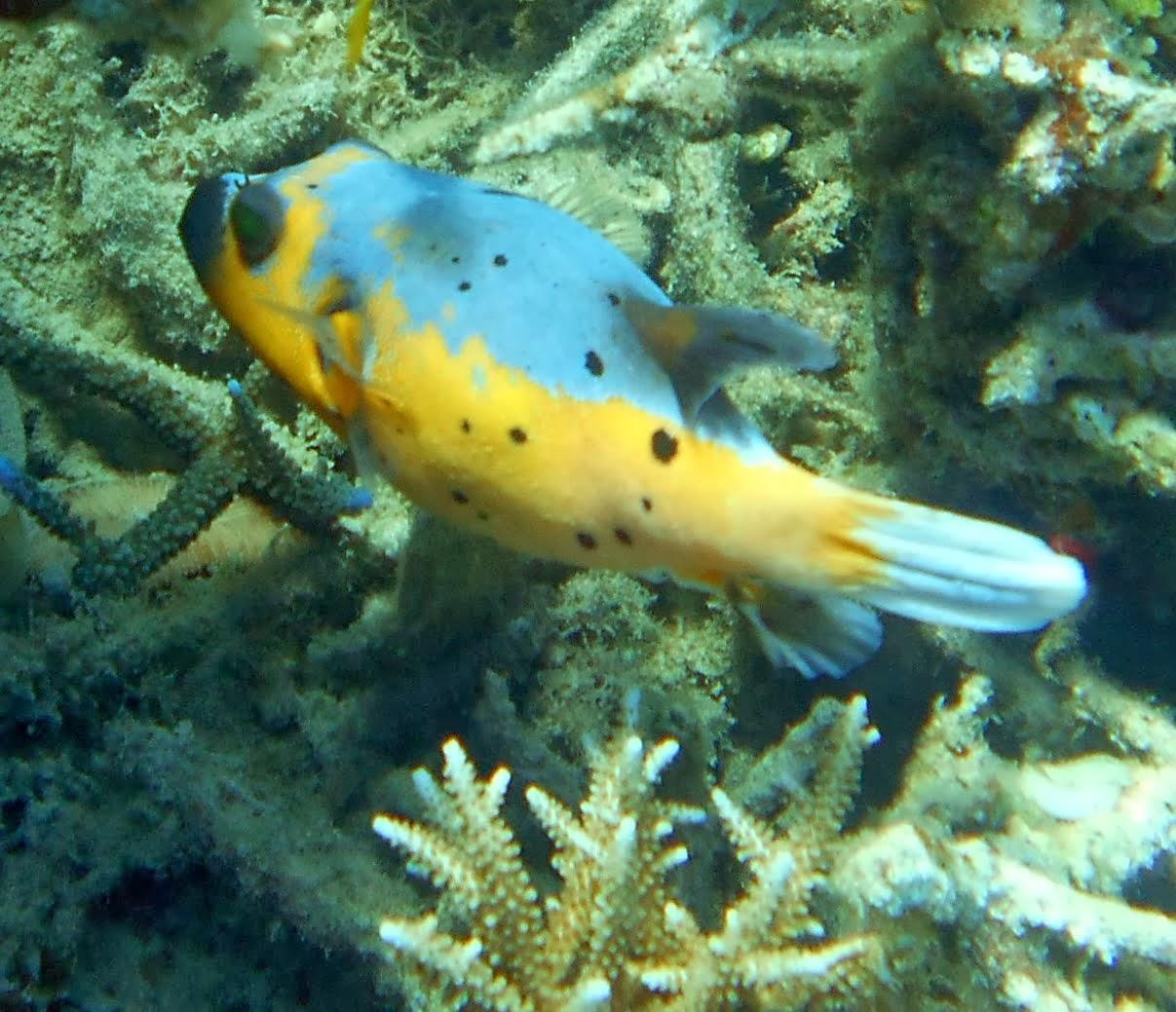 Puffer fish nemo for Blowfish vs puffer fish