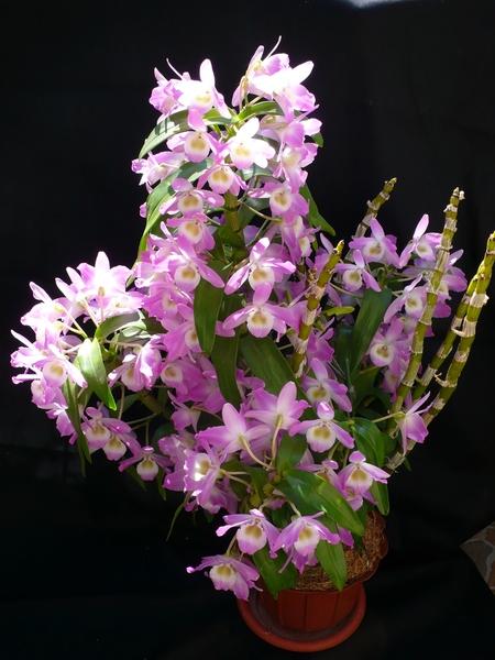 Орхидея дендробиум микс уход в домашних условиях фото