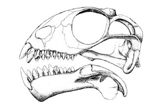 Suminia skull