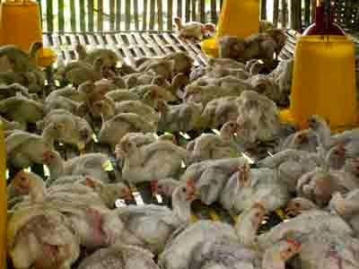 Bahaya Konsumsi Daging Ayam yang Disuntik Hormon Terlalu Banyak