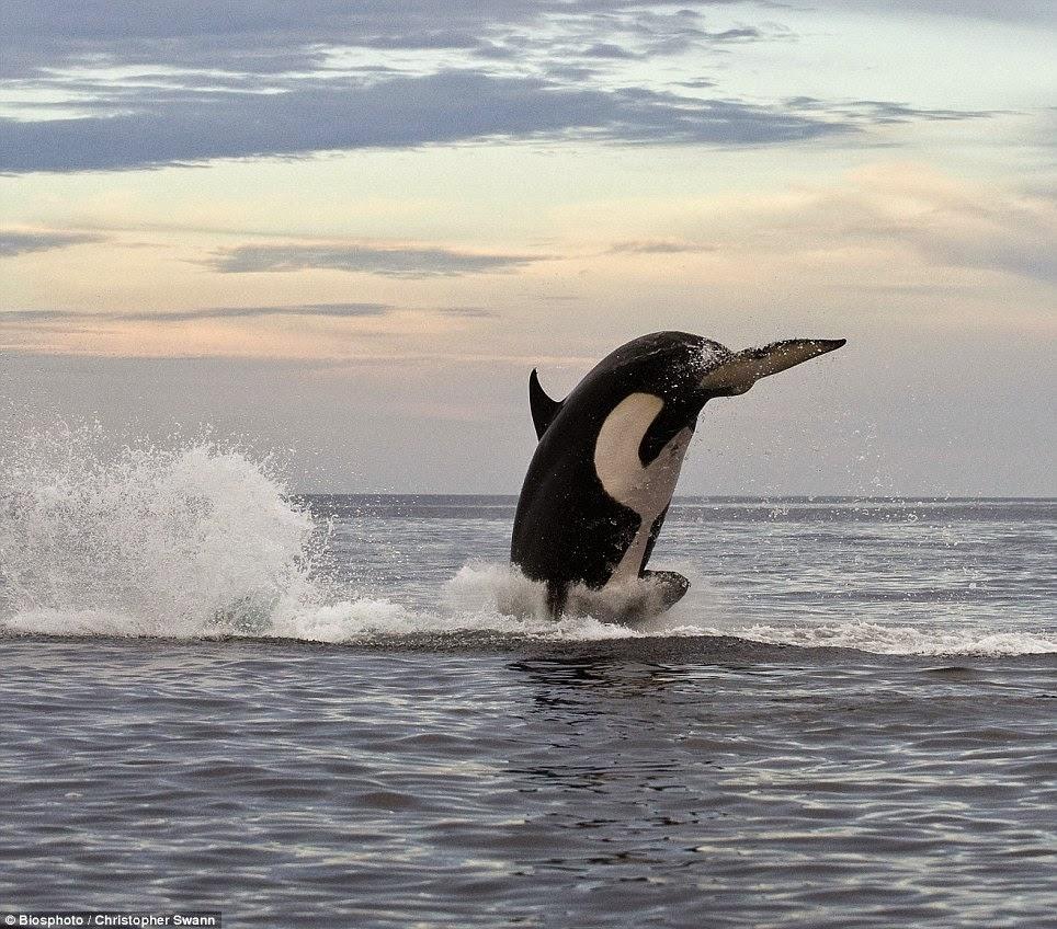 salto in alto dell'orca
