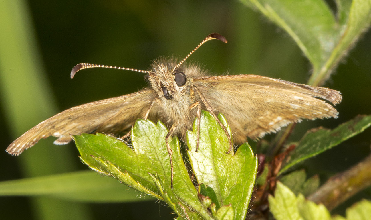 Dingy Skipper, Erynnis tages.  High Elms Country Park, 15 May 2014.