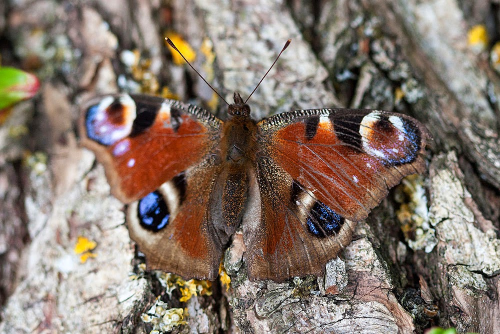 Peacock Butterfly - Loughton Valley Park, Milton Keynes.