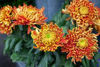 Jeffco gardener fall blooming perennials add color to the autumn garden by carol king - Fall blooming flowers ...