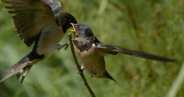 Pelea por posadero juveniles de golondrina común
