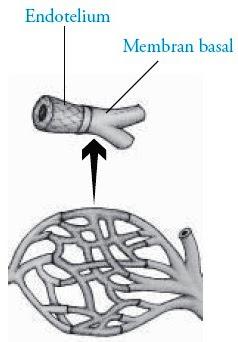 Struktur pembuluh kapiler