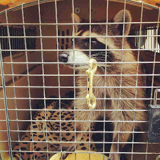PLL BTS Oscar raccoon