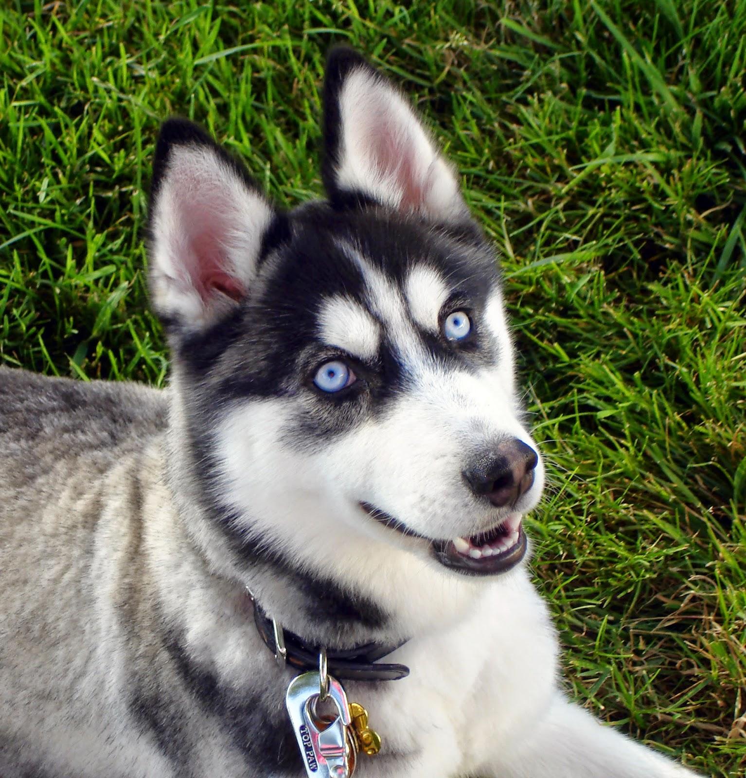 Blue eyed dog breeds - photo#2