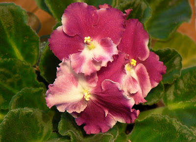 pink african violet is in honor of her birthday