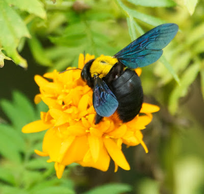 Carpenter Bee (Xylocopa aestuans)