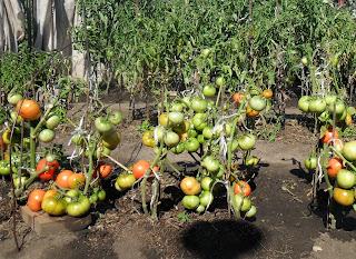 Не загущенные кусты помидоров дают урожай больше, и плоды на них поспевают раньше