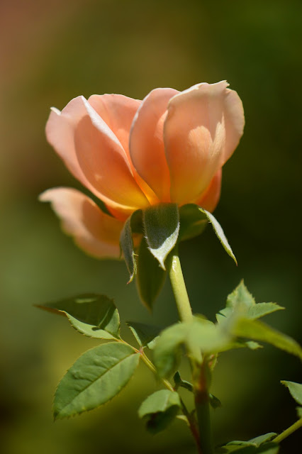 roses, english rose, david austin rose, crown princess margareta, amy myers photography