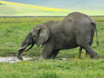 "An elephant in a Ngorongoro mudhole with ... uh ... ""five legs"" (Tanzania)"