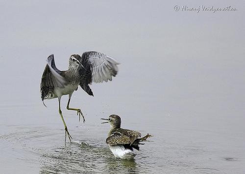 Funny Birds Dancing