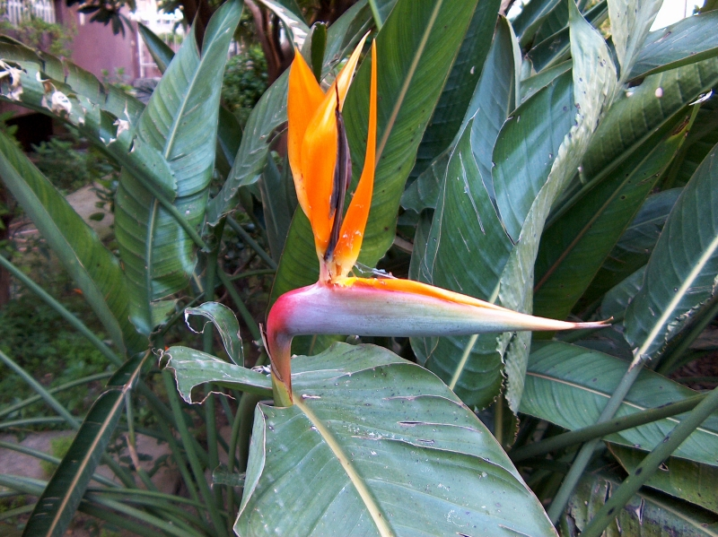 Romantic Flowers: Birds of Paradise Flower