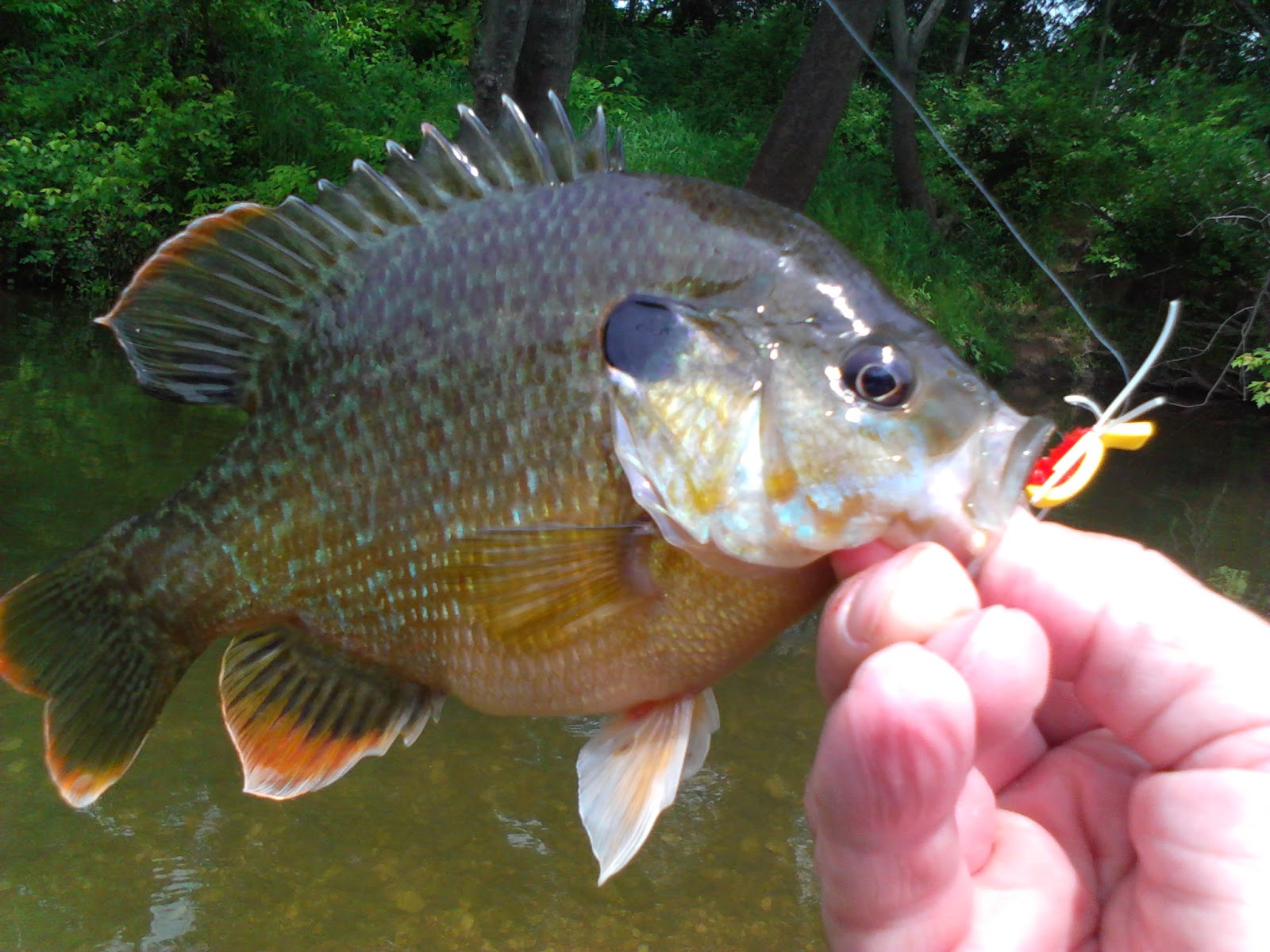 Pumpkinseed Sunfish  Identification and Fact Sheet