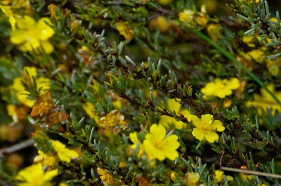 Variable Buttercup (Hibbertia cf commutata)