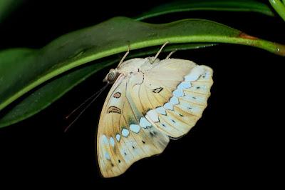Banded Marquis (Euthalia [Bassarona] teuta bellata)