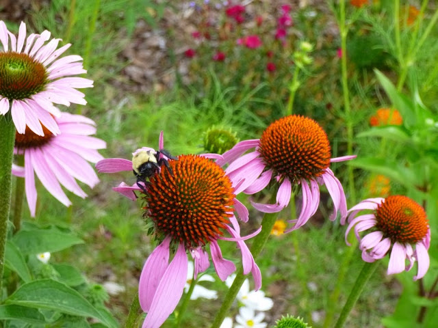 Echinacea purpurea, Purple Coneflower and Bumble Bee.
