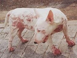 Cão com sarna escabiose