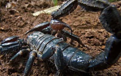 http://3.bp.blogspot.com/-gJ4R7LjRGyk/TbadMDBtvwI/AAAAAAAAO30/zhd8fsXl7tY/s1600/20-species-blue-scorpion_34625_600x450.jpg