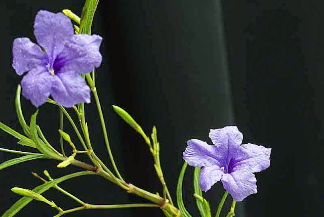 purple shower, flowers, Mexican petunia