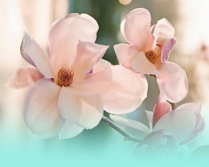Jour Magnolia