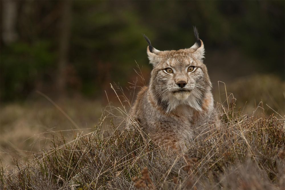 3. Photograph European Lynx by Milan Zygmunt