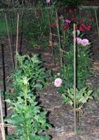 Davious' garden