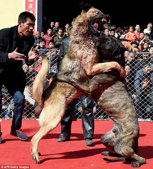 Clever Bulletin: The cruel dogfights in northern China that organisers