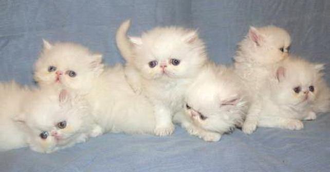 Ini Dia Cara Bagaimana Merawat Anak Kucing Persia Blog