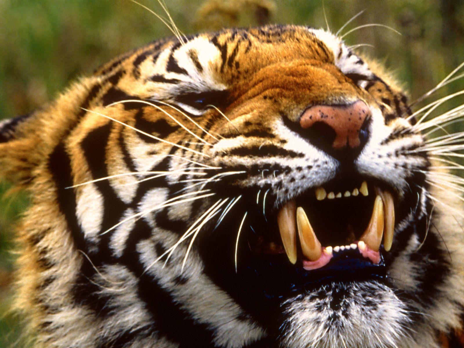 http://3.bp.blogspot.com/-gJW2Mz-s6bw/TgOAFdgtSJI/AAAAAAAAA1c/E2Q6vkSKzRE/s1600/bengal-tiger-wallpaper.jpg