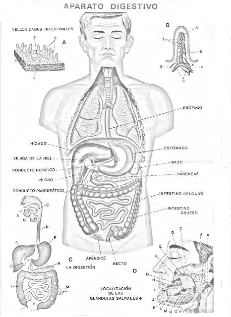 Dibujos del aparato digestivo con nombres - Imagui