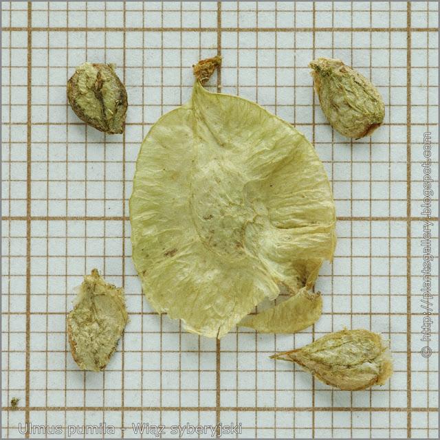 Ulmus pumila seeds - Wiąz syberyjski nasiona