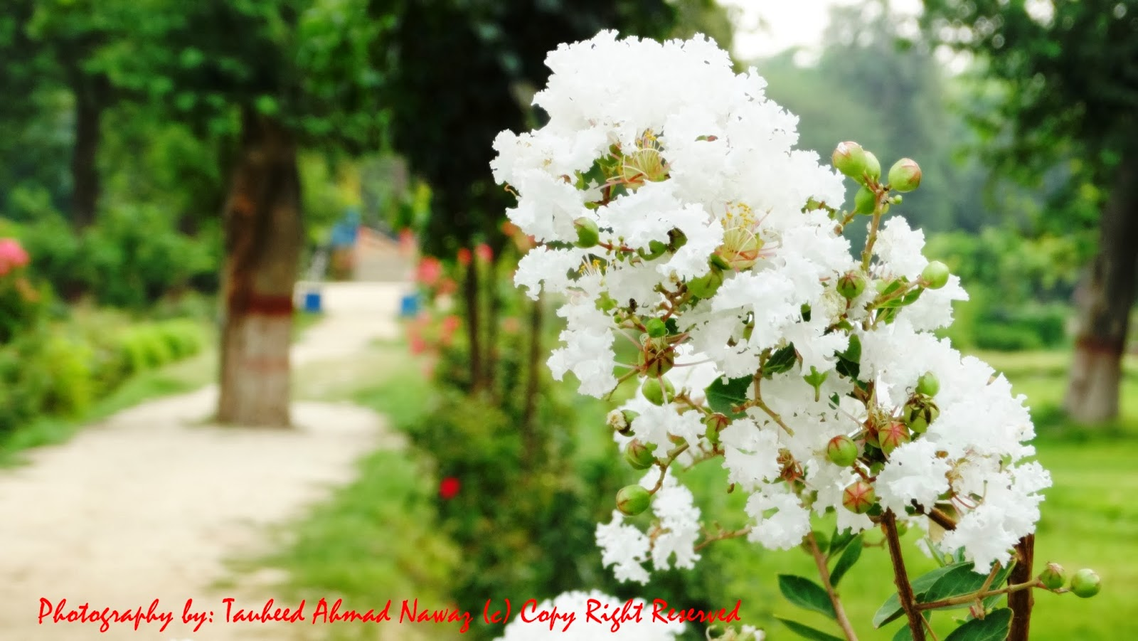 Tauheed Ahmed Nawaz Photography Fresh White Flowers Are Most