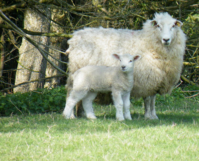Spring scene of sheep and her lamb