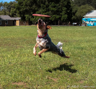Vader, the flying disc dog