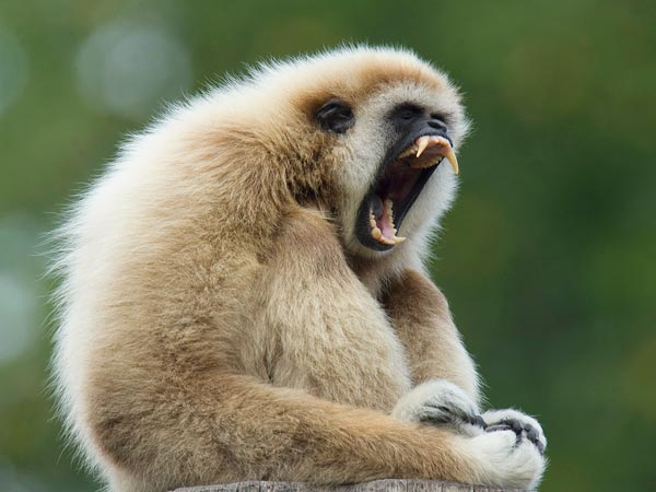 New Macaulay Library clips let you listen to gibbons hoot in ...
