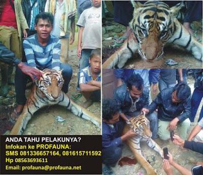 Kejam! Foto Pembunuhan Harimau Sumatra Tuai Kecaman