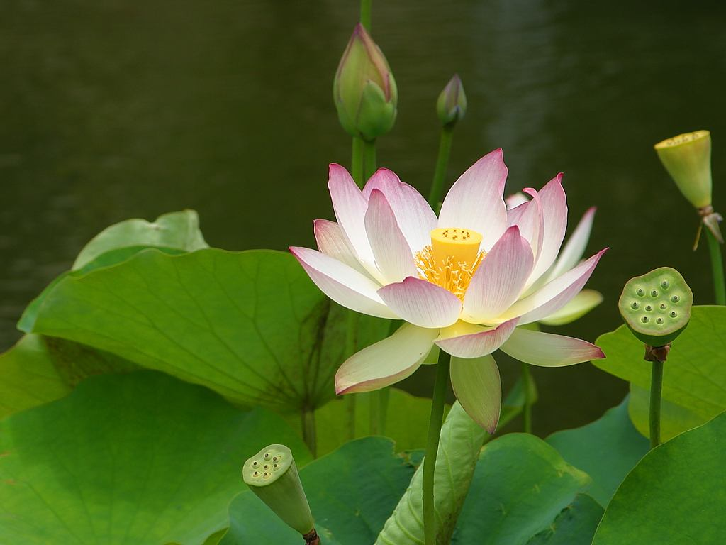 Worms N Radishes Flowers Fruits N Trees The Lotus Flower