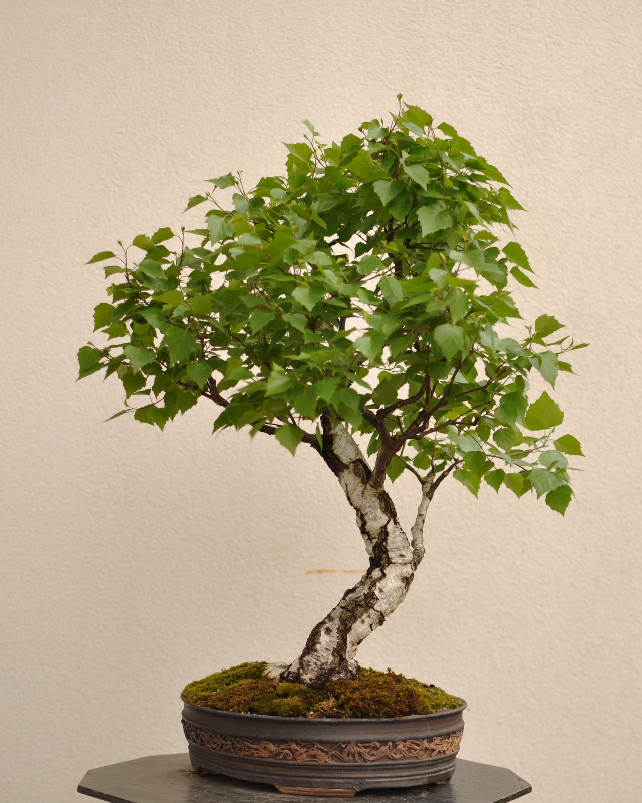 Maros Bonsai Blog Birch No1 Again