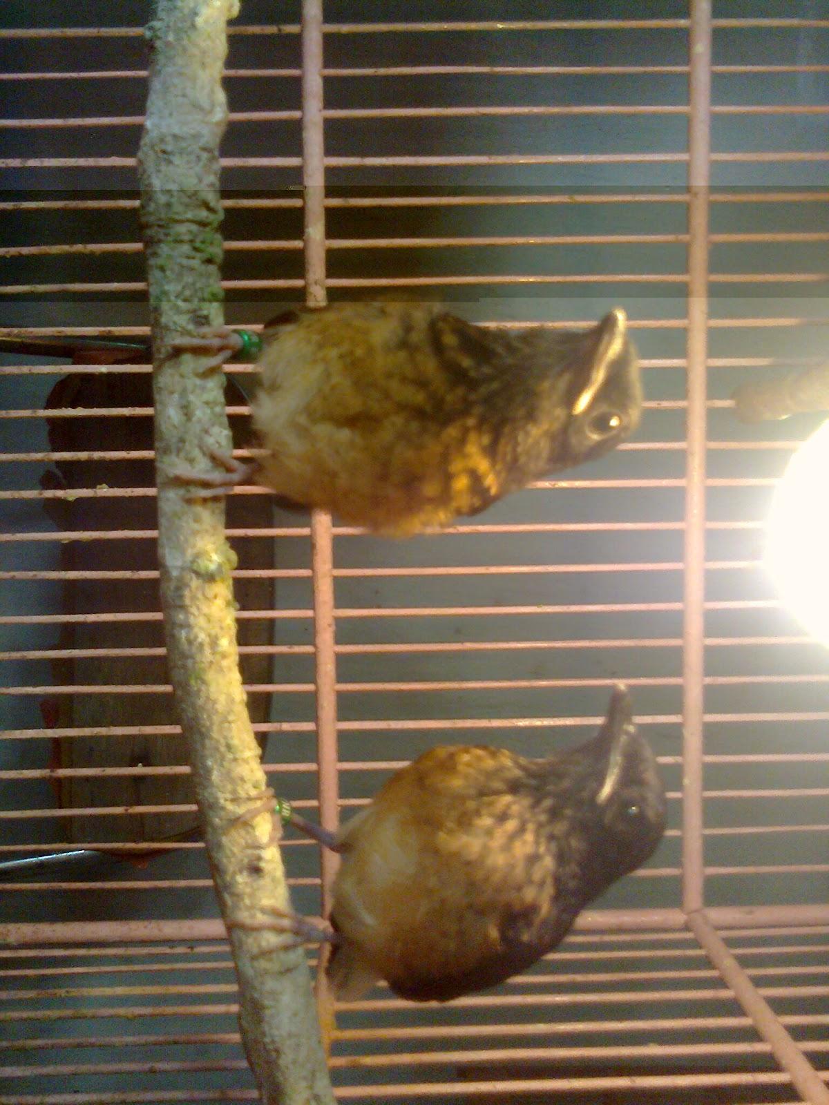 kami menyediakan burung murai batu medan anakan umur 1 bln makan