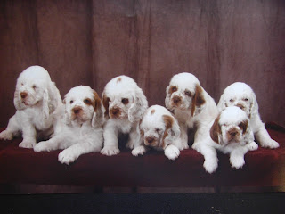 Cute Clumber Spaniel Puppies