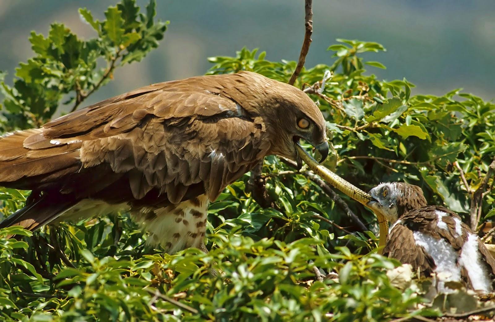 Águila Culebrera Alimentando a su Pollo