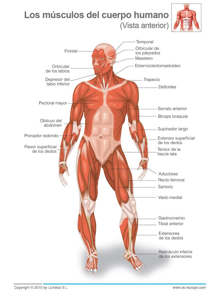 2º ESO - Educación Física: Sistema Muscular