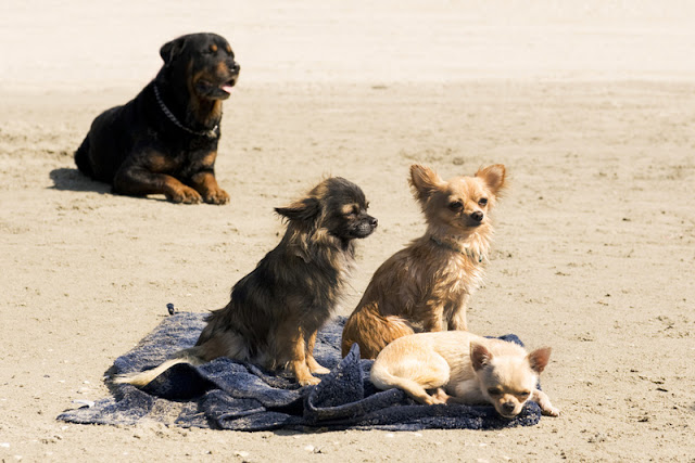 A rottie and three chihuahuas on the beach in summer